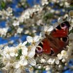 1278088_sea_of_blossoms[2]