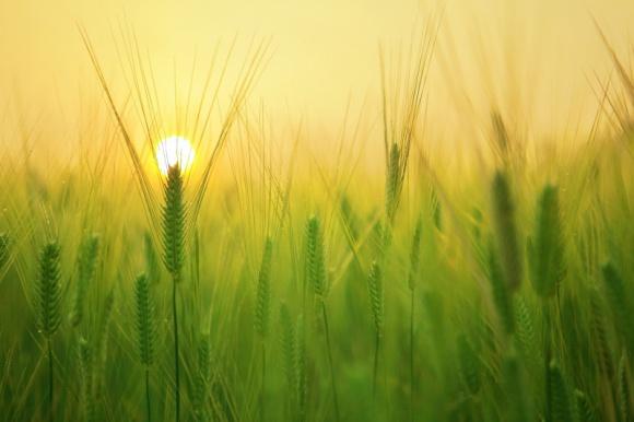 Cena mąki wzrośnie. To nieuniknione BIZNES, Firma - W swojej ostatniej prognozie produkcji zbóż opublikowanej w dniu 30 września, Główny Urząd Statystyczny podał szacunki polskich zbiorów 2020.