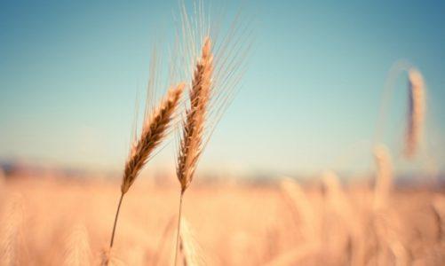Ceny mąki ruszyły w górę, jednak ceny pszenicy rosną w znacznie szybszym tempie